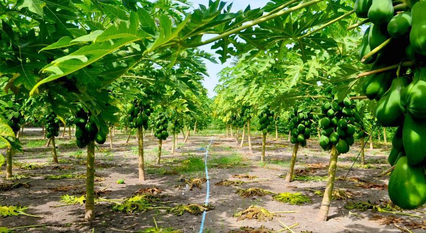 фруктовые плантации тодду мальдивы